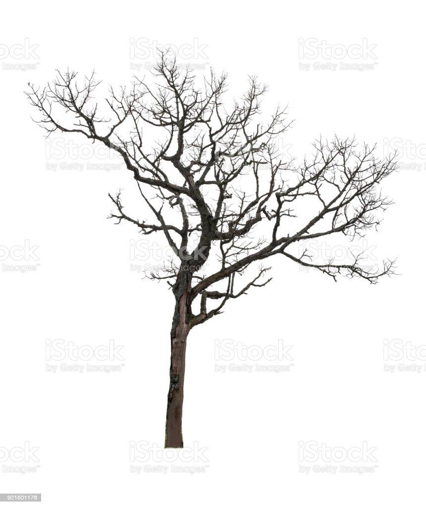 Árvore seca, isolado no fundo branco do arquivo com o traçado de recorte - foto de acervo