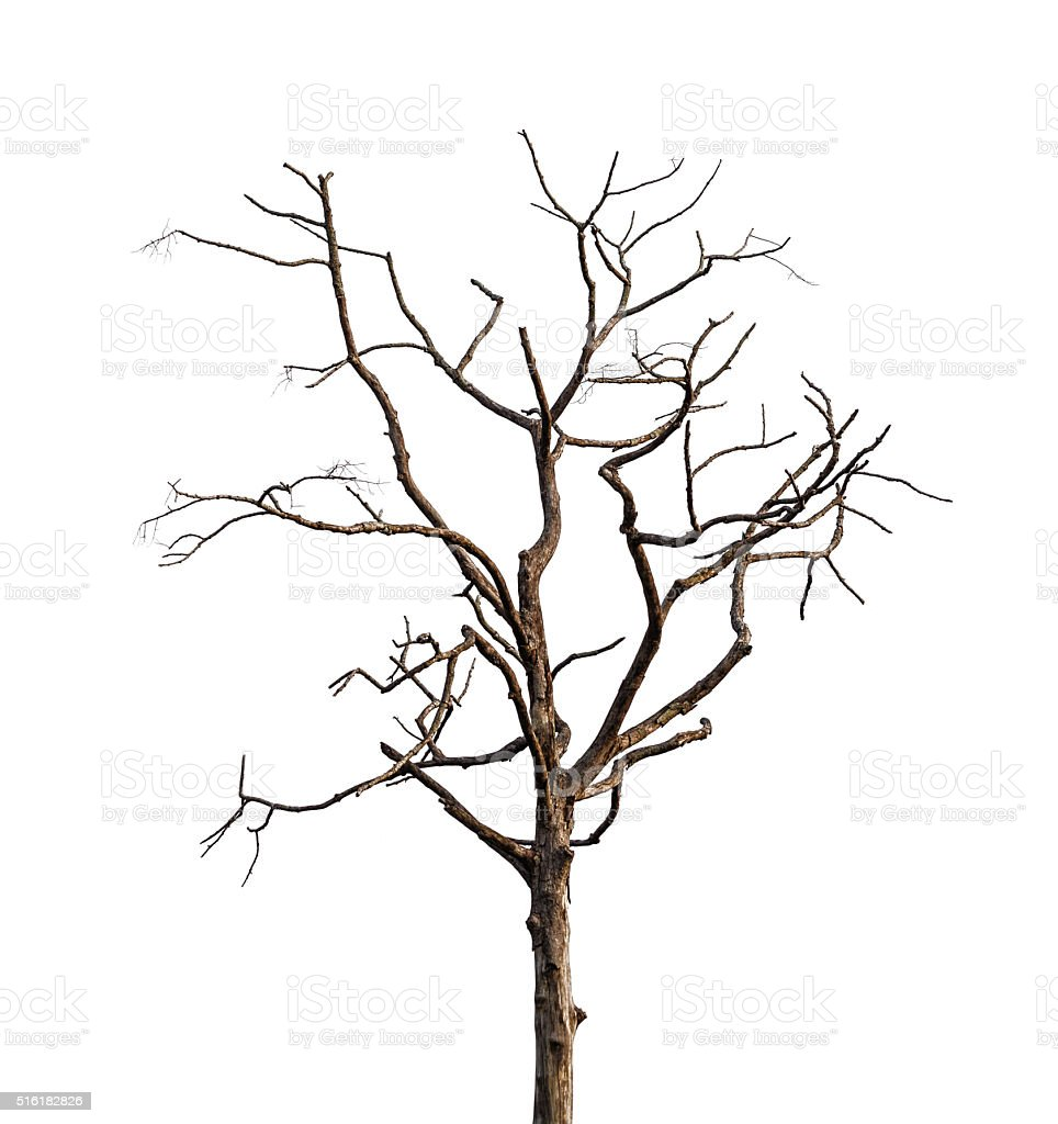 Dry tree on a white background stock photo