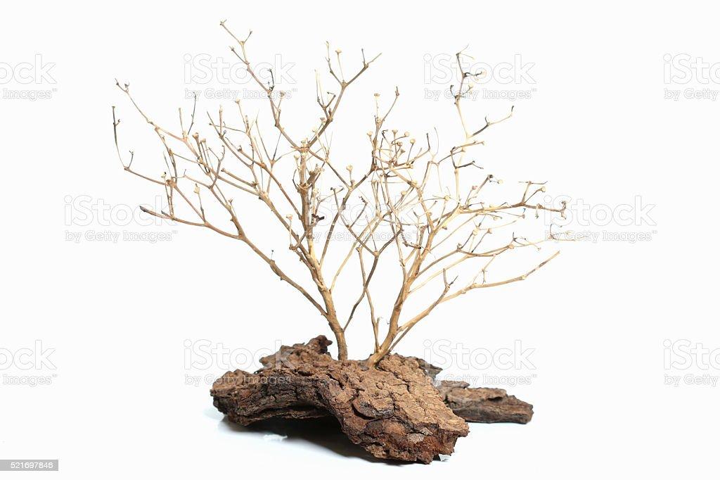 Dry tree on white background. stock photo
