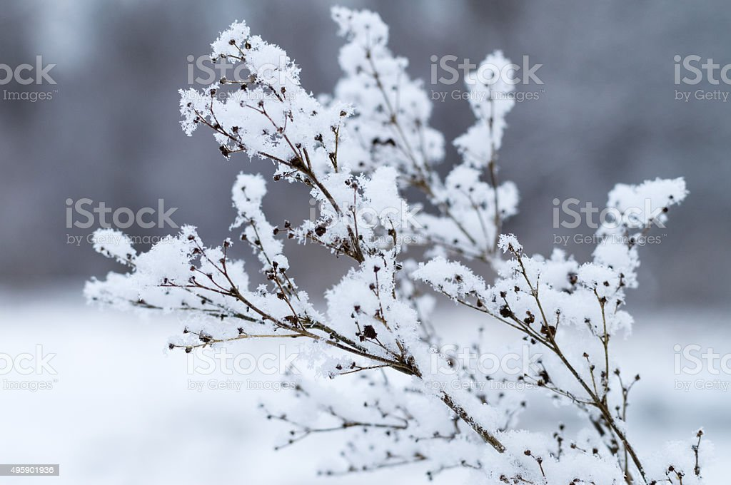 Dry twig covered by fluffy snow stock photo