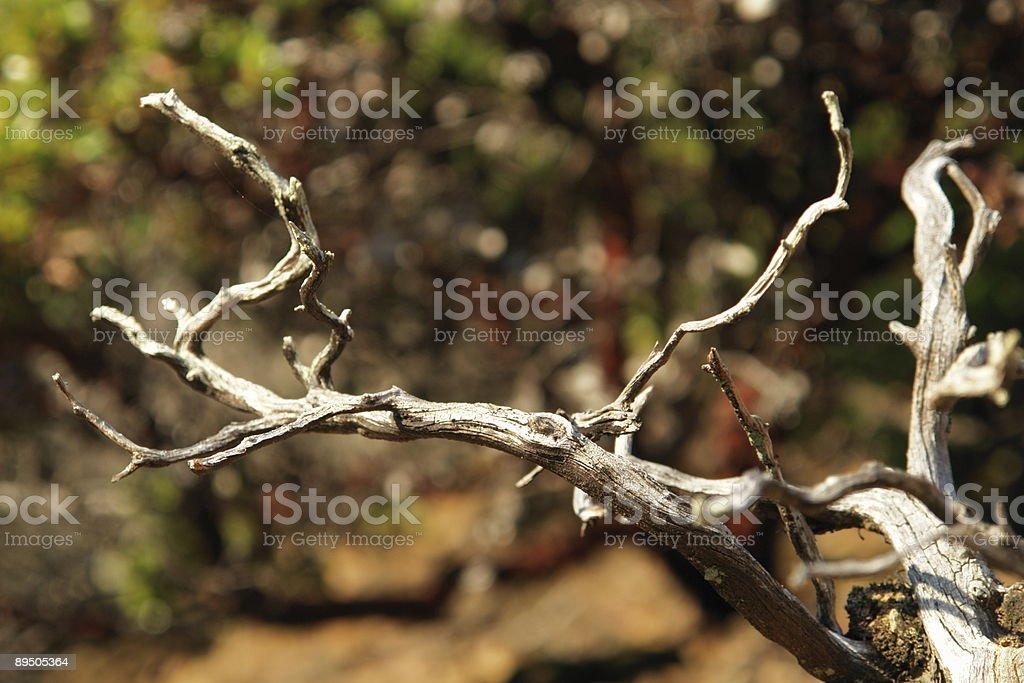 Dry Brindille de madrone arbre avec arrière-plan flou photo libre de droits