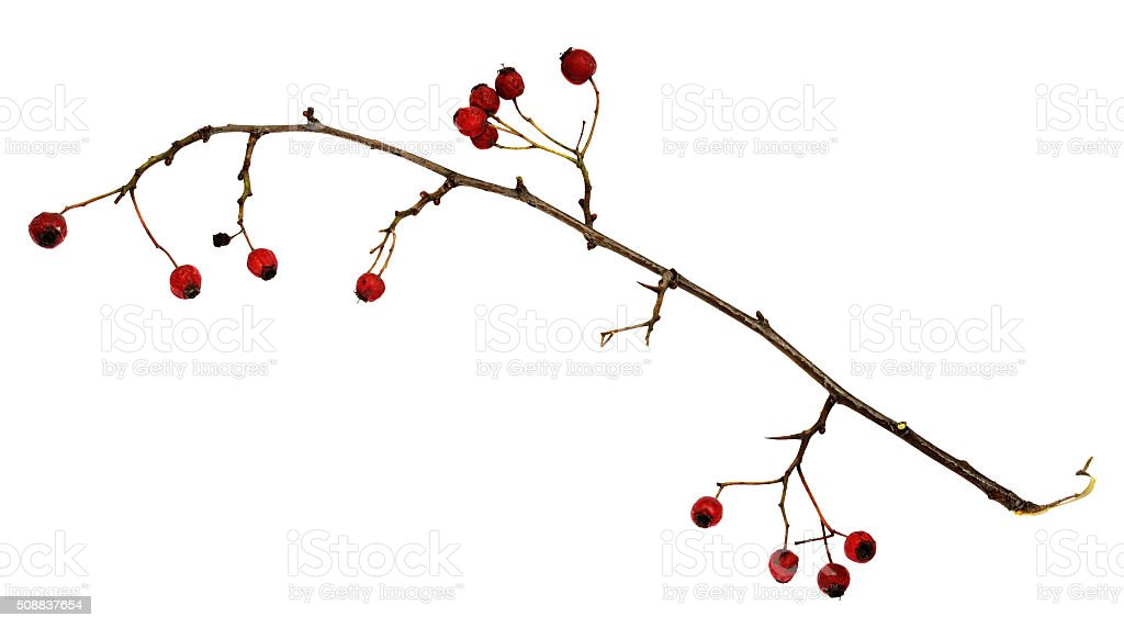 Dry twig with berries stock photo