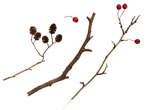 Dry twigs  with berries and cones