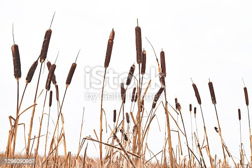 Dry Typha plants over white sky background, natural winter background photo with selective focus