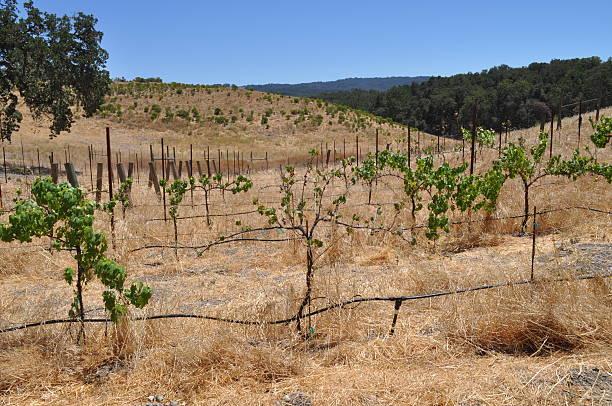 Dry Vineyards in California stock photo