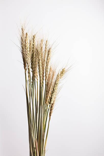 Sequedad de trigo con espiguillas madre - foto de stock