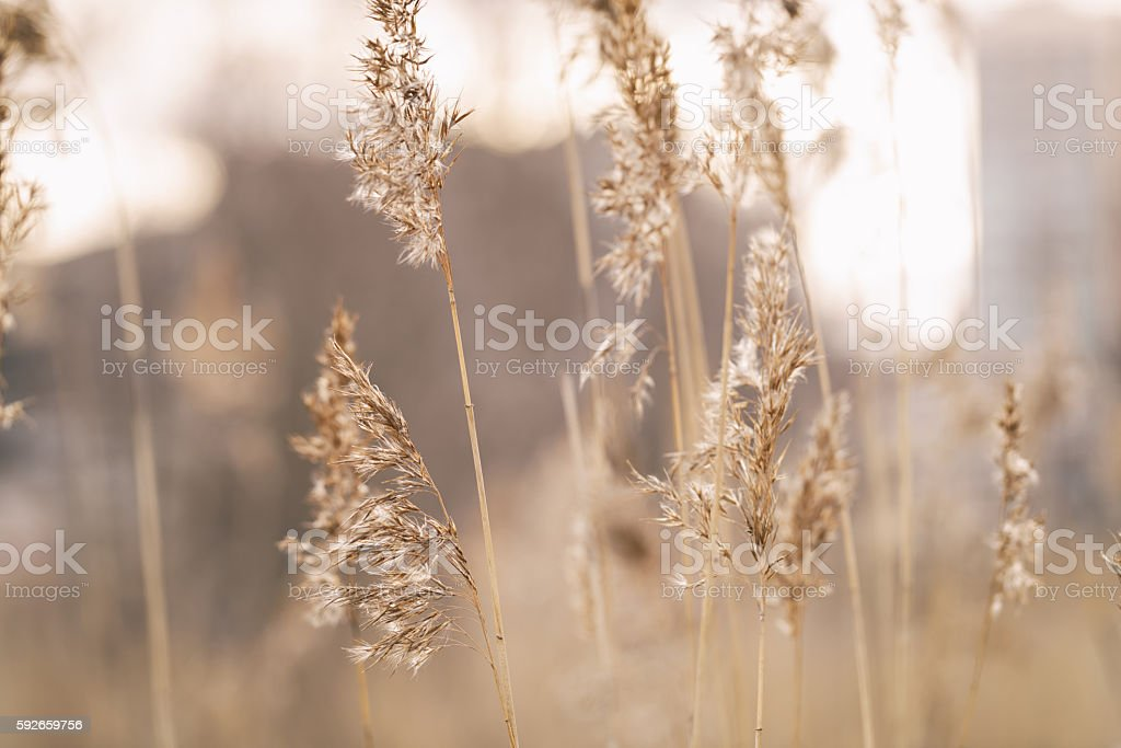 dry wild grass on meadow in early spring stock photo