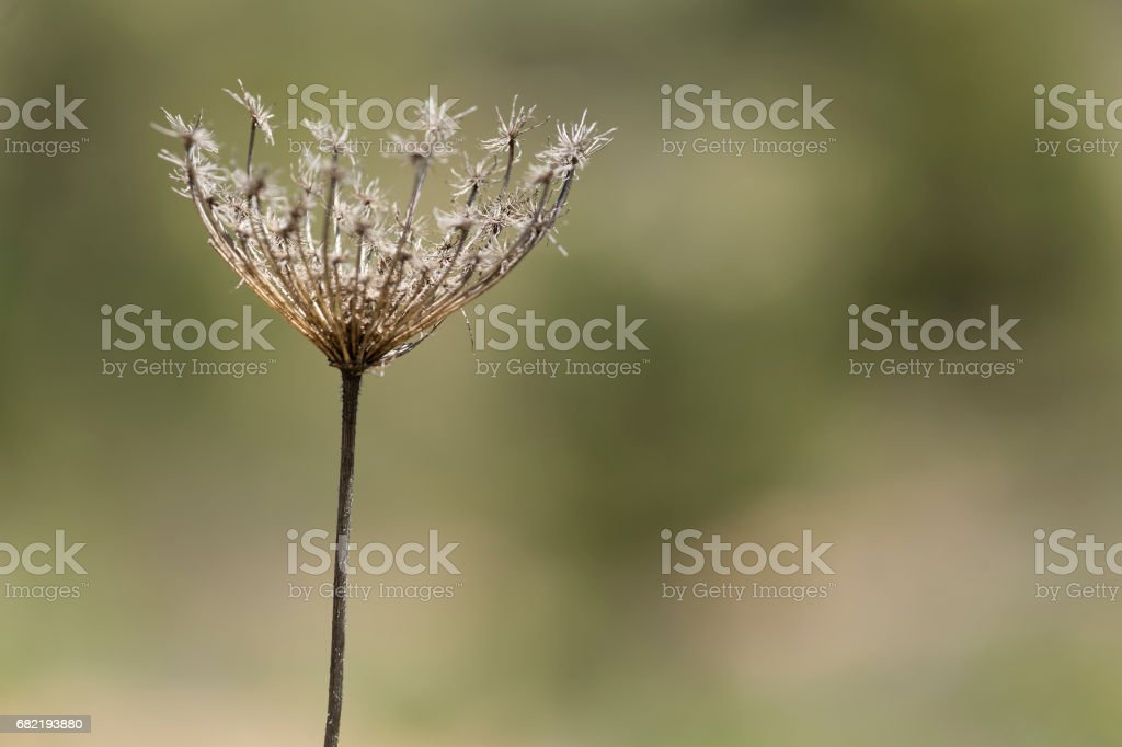 Droog wilde plant op intreepupil natuurlijke achtergrond. foto