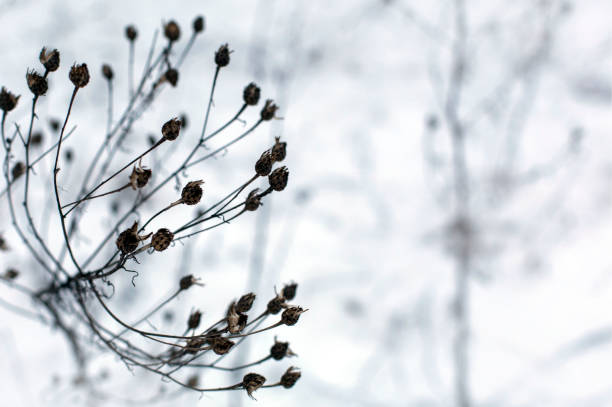Dry winter grass in snow on a meadow in a daylight stock photo