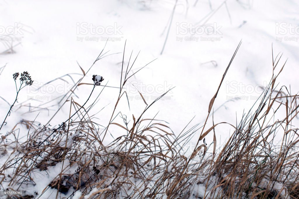 Dry winter grass in snow on a meadow in a daylight royalty-free stock photo