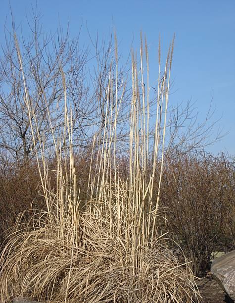 Dry Winter Grass Stand stock photo