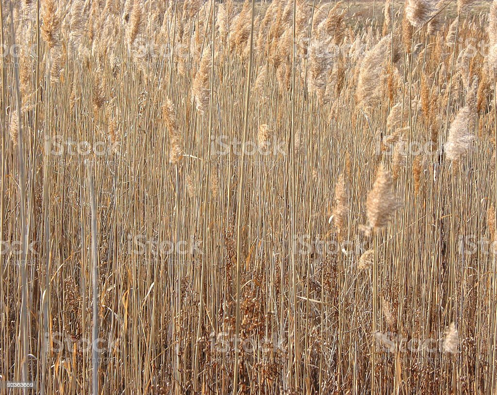 Dry winter reeds royalty-free stock photo