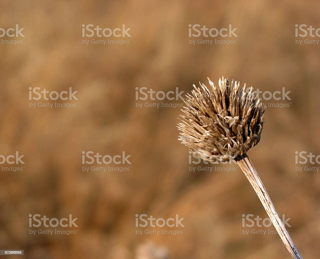 Dry winter weed royalty-free stock photo