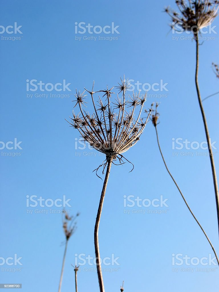 Dry winter weeds royalty-free stock photo