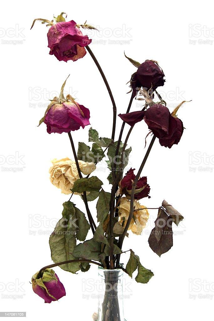 Dry withered rosebud isolated on white background. stock photo