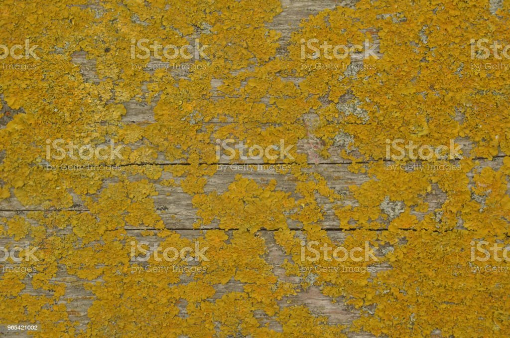 Dry yellow moss on cracked wooden board royalty-free stock photo