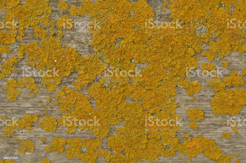 Dry yellow moss on wooden board zbiór zdjęć royalty-free