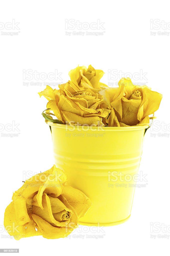 dry yellow roses in a bucket royalty-free stock photo