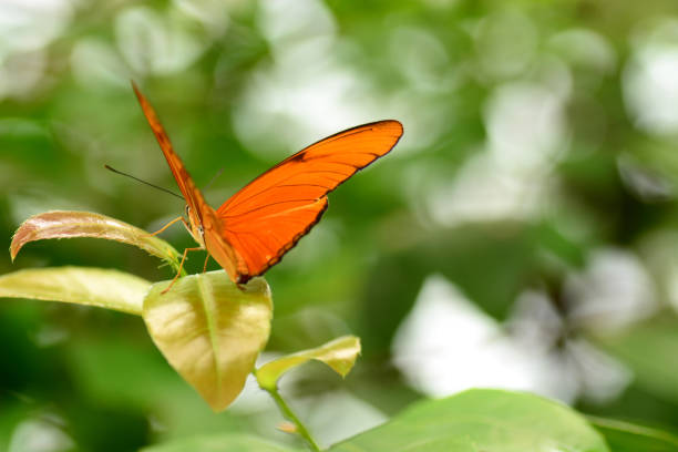 Dryas julia on top of a leaf picture id1170338420?b=1&k=6&m=1170338420&s=612x612&w=0&h=gnzt7pszl4wbntgkzn esk9pxp9cnyxrazqd2n0tu78=