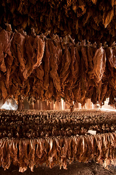 drying of tobacco leaves, vinales, cuba - mahroch stock pictures, royalty-free photos & images