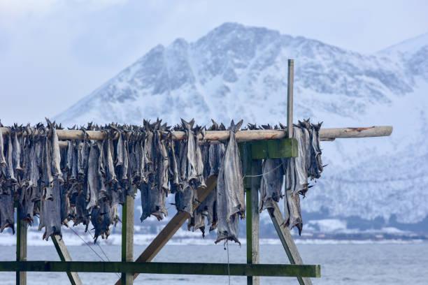 Drying stockfish - Gimsoy, Lofoten Island, Norway stock photo