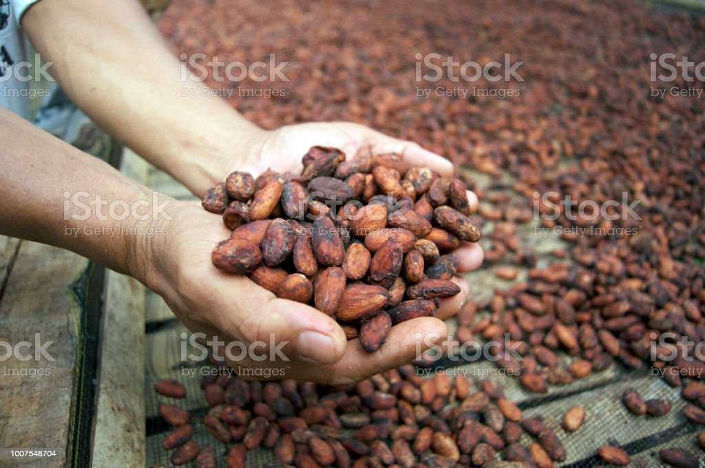 drying the fermented cocoa ( or cacao ) beans organic, premium, fine flavour cocoa ( cacao ) Agriculture Stock Photo