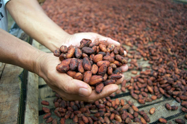 drying the fermented cocoa ( or cacao ) beans stock photo