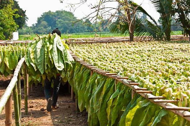 drying tobacco leaf. - guy with cigar stockfoto's en -beelden