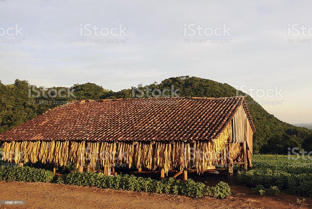 Secagem folhas de tabaco - foto de acervo