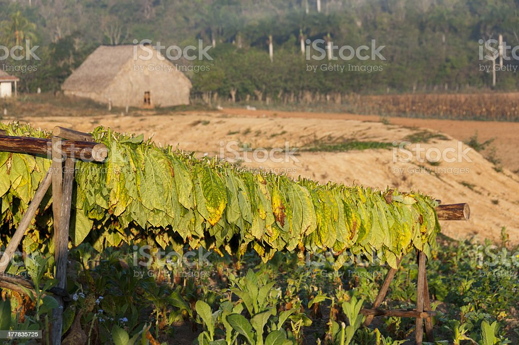 Drying tobacco on cuban fields royalty-free stock photo