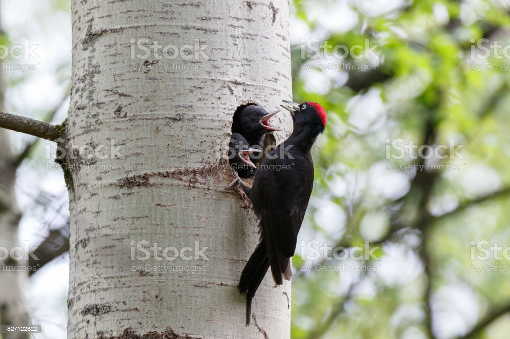 Dryocopus martius. The nest (hole) of the Black Woodpecker in nature. стоковое фото