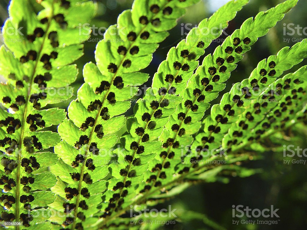 dryopteris filix-mas The male fern royalty-free stock photo