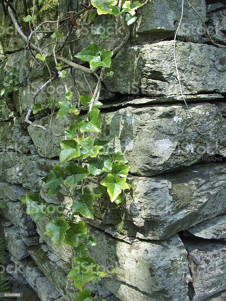 Drystone Wall and Ivy royalty-free stock photo