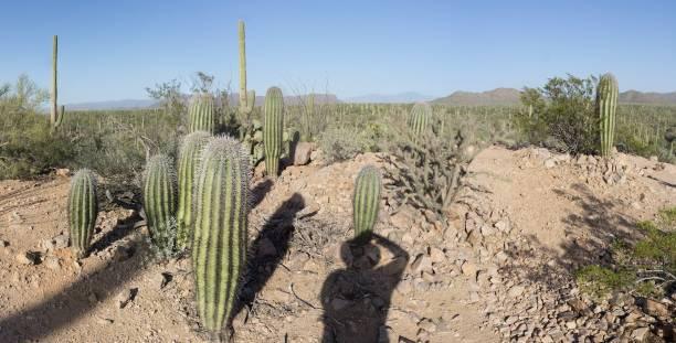 DSC2549a6000a Cactus - Saguaro National Park - Tucson Mountain District stock photo