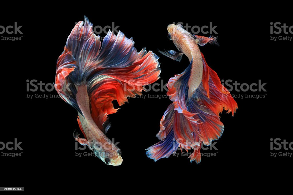 Dual betta fish isolated on black background. stock photo