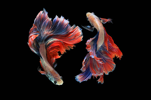 Dual betta fish isolated on black background. Dual betta fish isolated on black background. ( Mascot double tail ) Ballerina betta fish. exoticism stock pictures, royalty-free photos & images