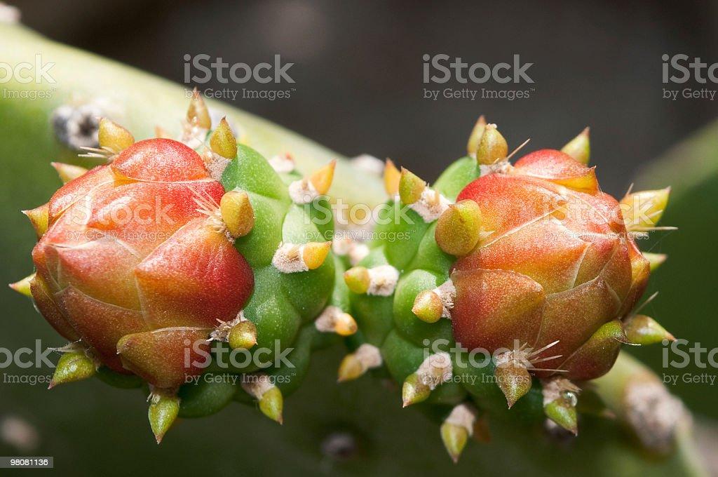 Dual Christmas cactus buds royalty-free stock photo