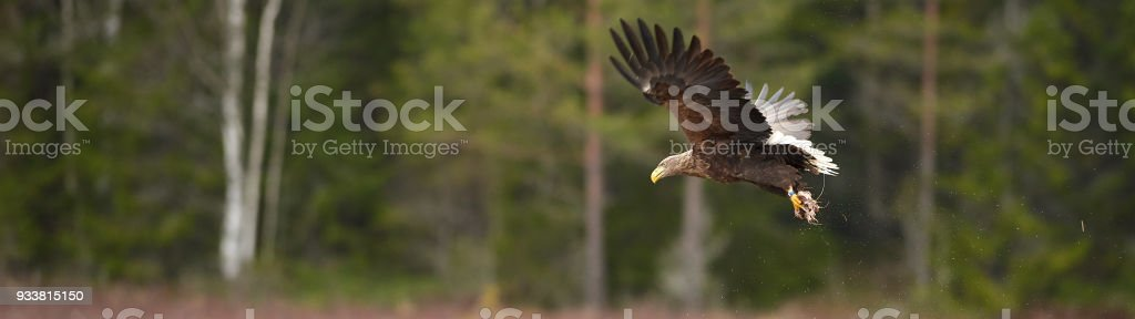 Dual monitor wallpaper - Eagle stock photo