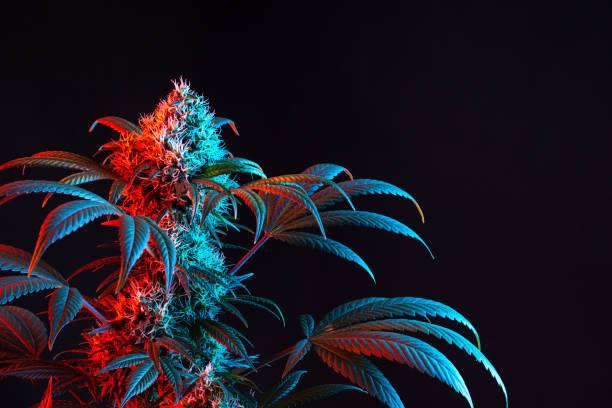 Dual Toned Red and Blue Vaporwave Flowering Medical Marijuana or Hemp Plant Isolated on Minimalist Black Background stock photo
