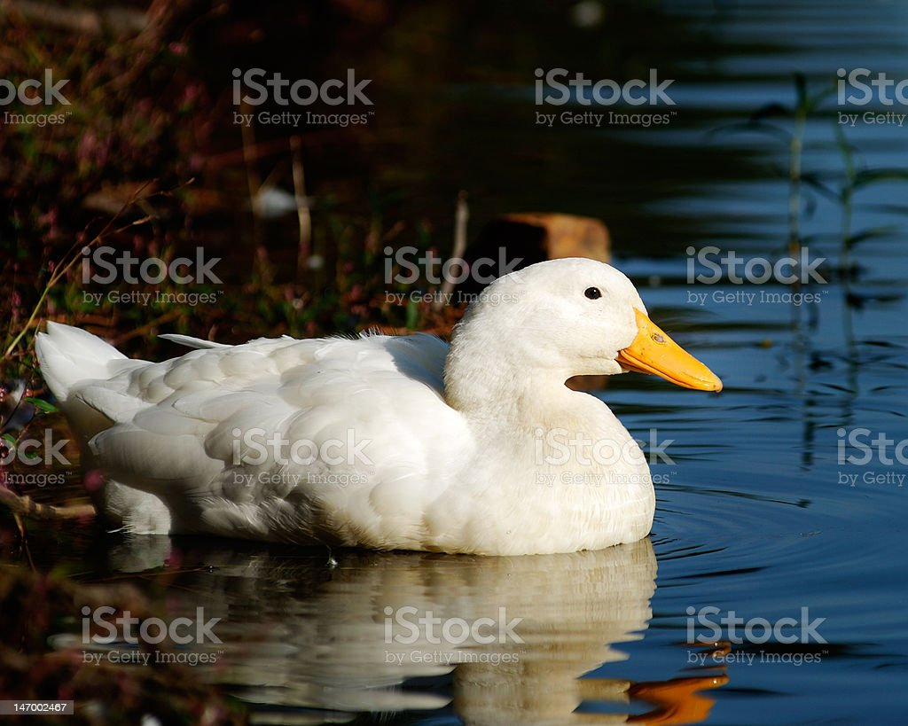 Duck 1 royalty-free stock photo
