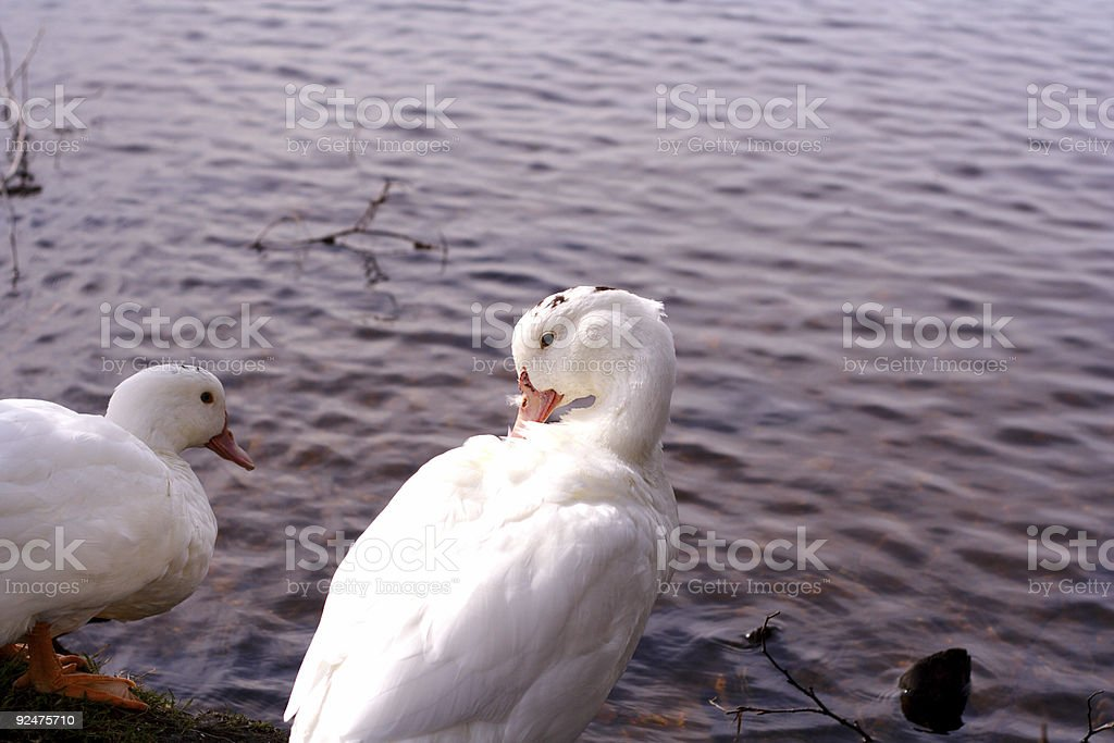 Duck 2 royalty-free stock photo