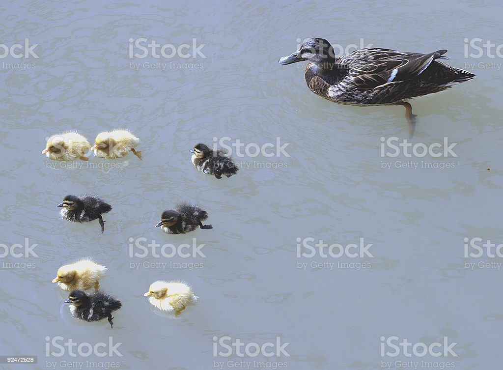 Duck & 8 ducklings royalty-free stock photo