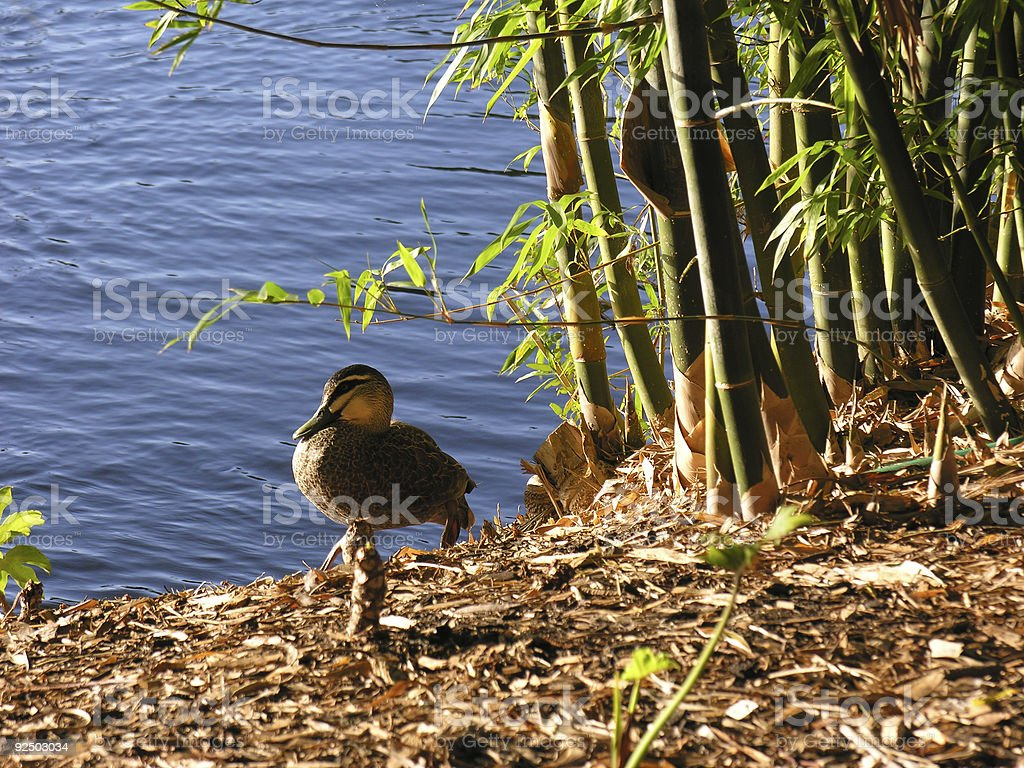 Duck and bamboo on river bank royalty-free stock photo