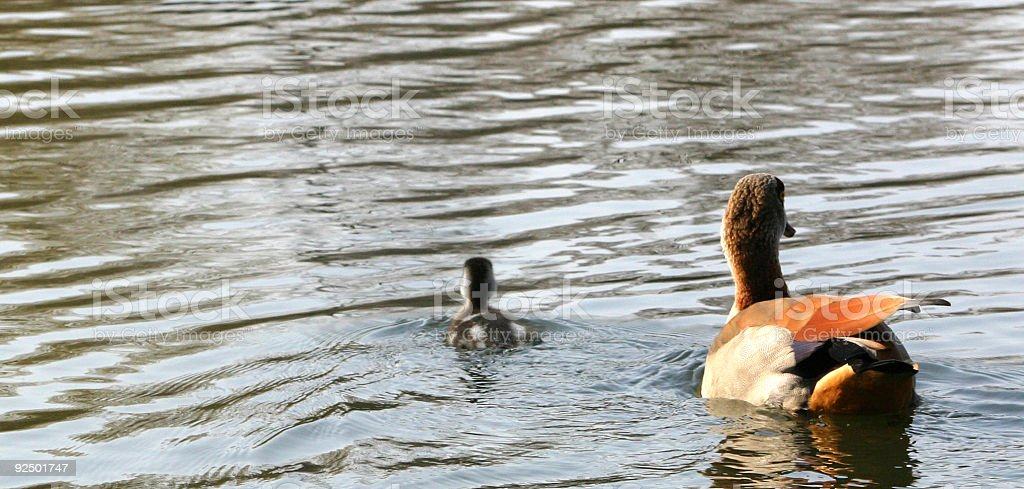 Duck and Duckie royalty-free stock photo