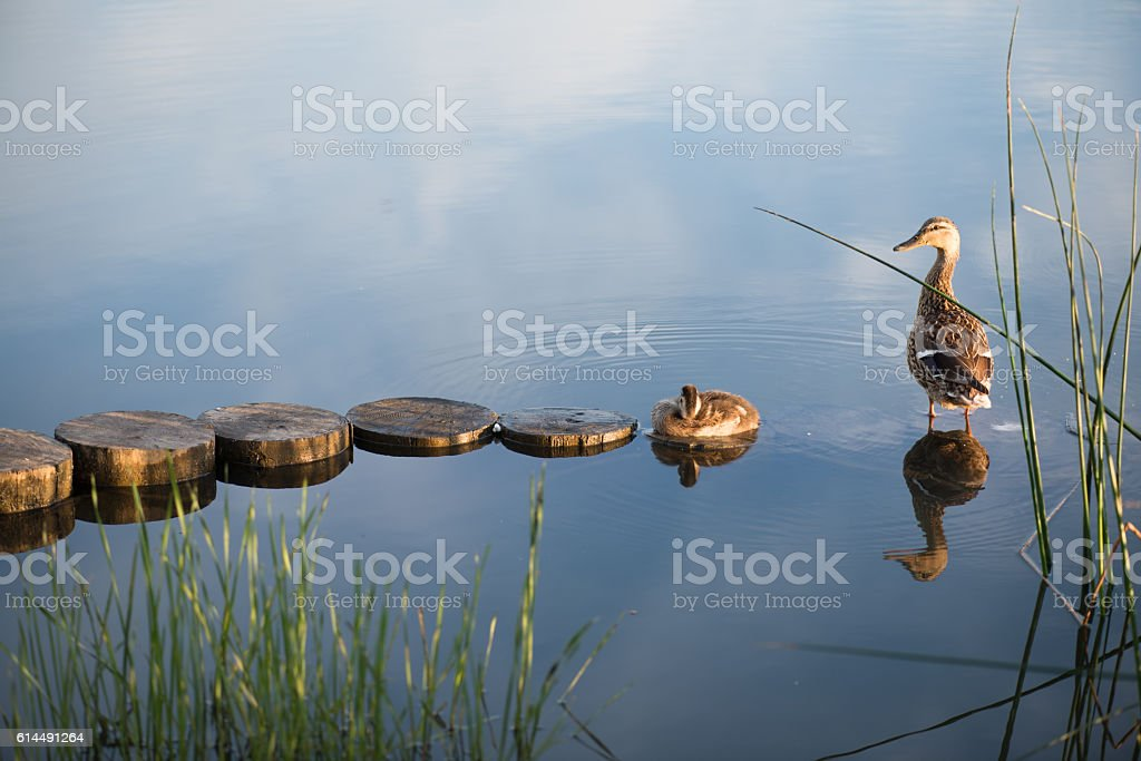 Duck and duckling in the morning autumn Lake with grass stock photo