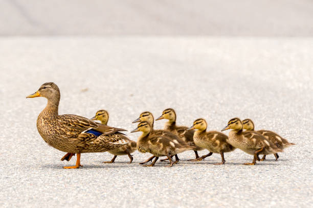 Duck And Ducklings On A Road A mother duck and her ducklings crossing a road in a line. There are seven ducklings following the mother. animal family stock pictures, royalty-free photos & images