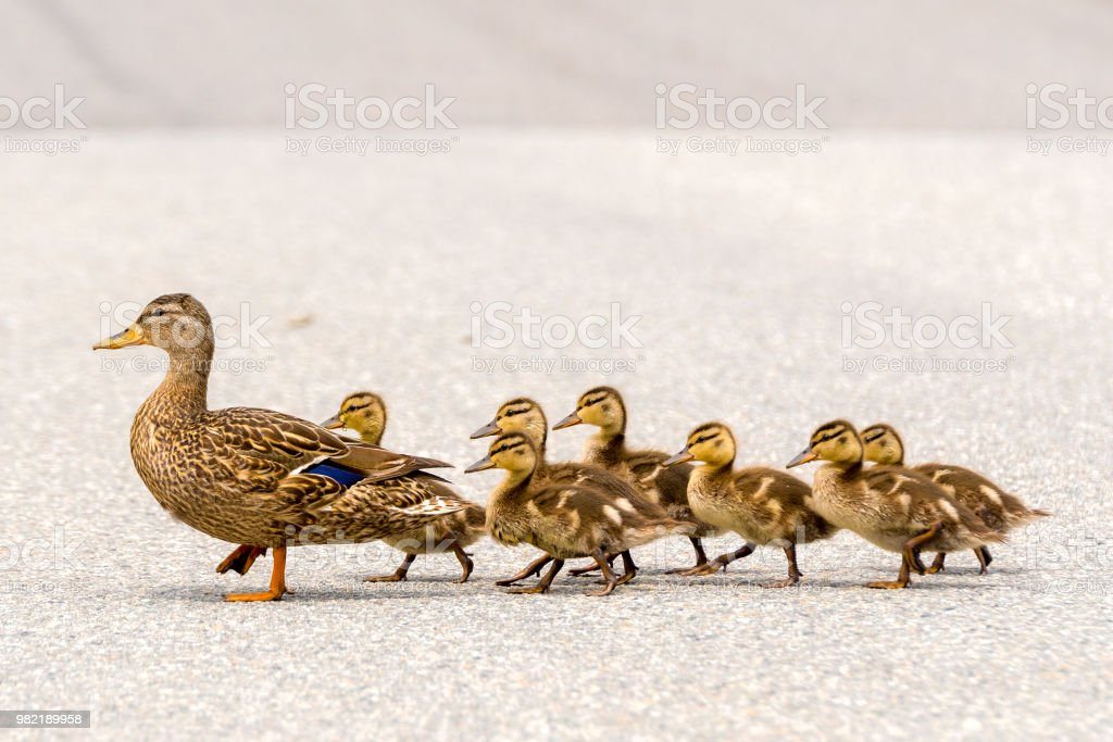 Duck And Ducklings On A Road stock photo
