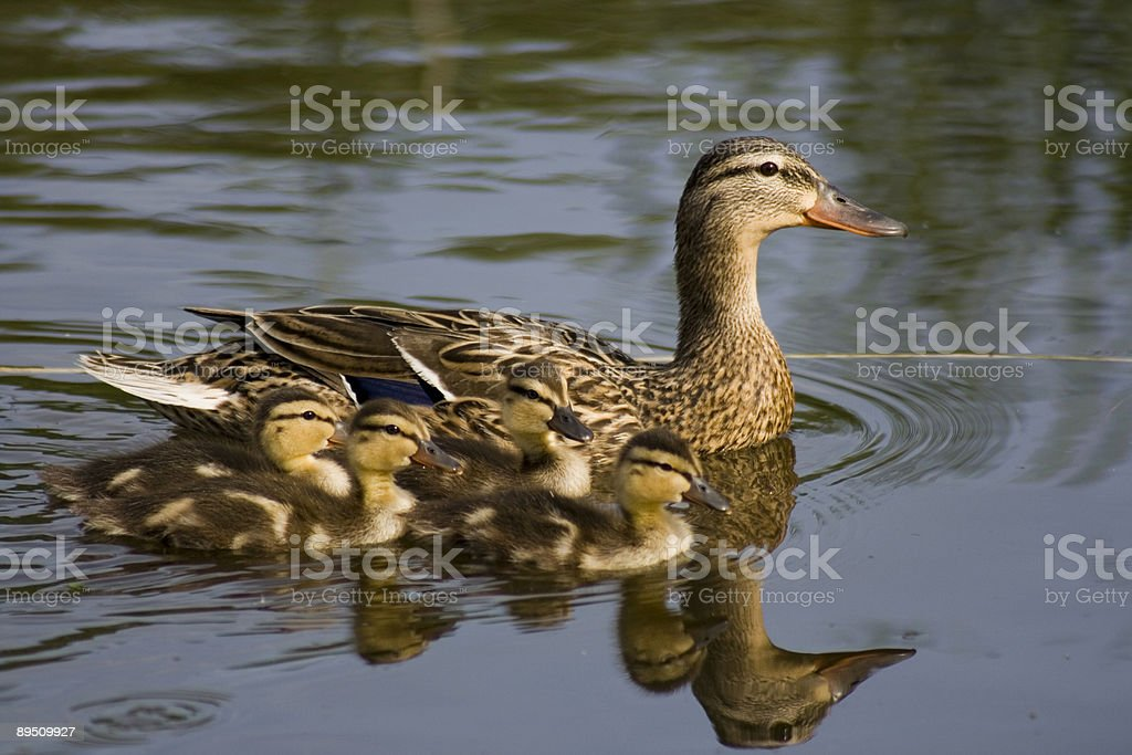 Duck and Ducklings royalty-free stock photo
