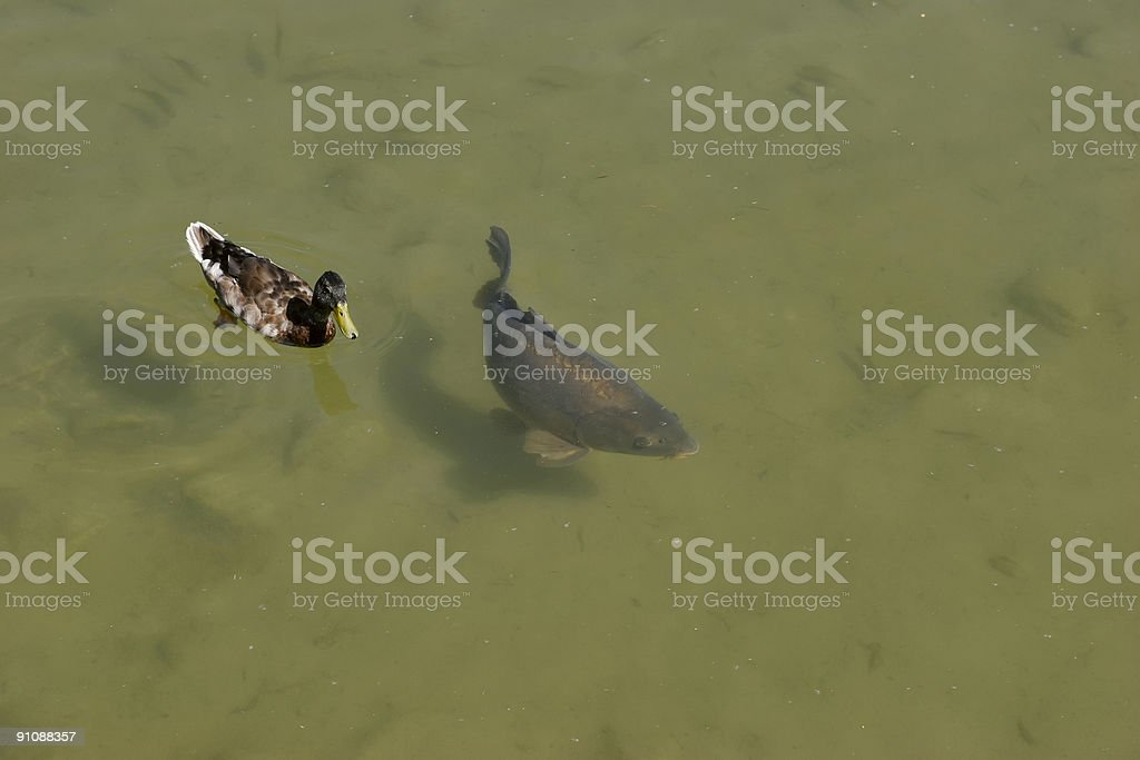 Duck and fish stock photo