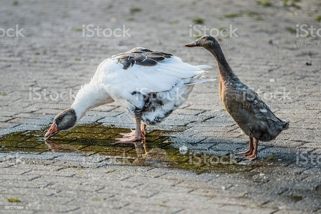 Duck and goose royalty-free stock photo